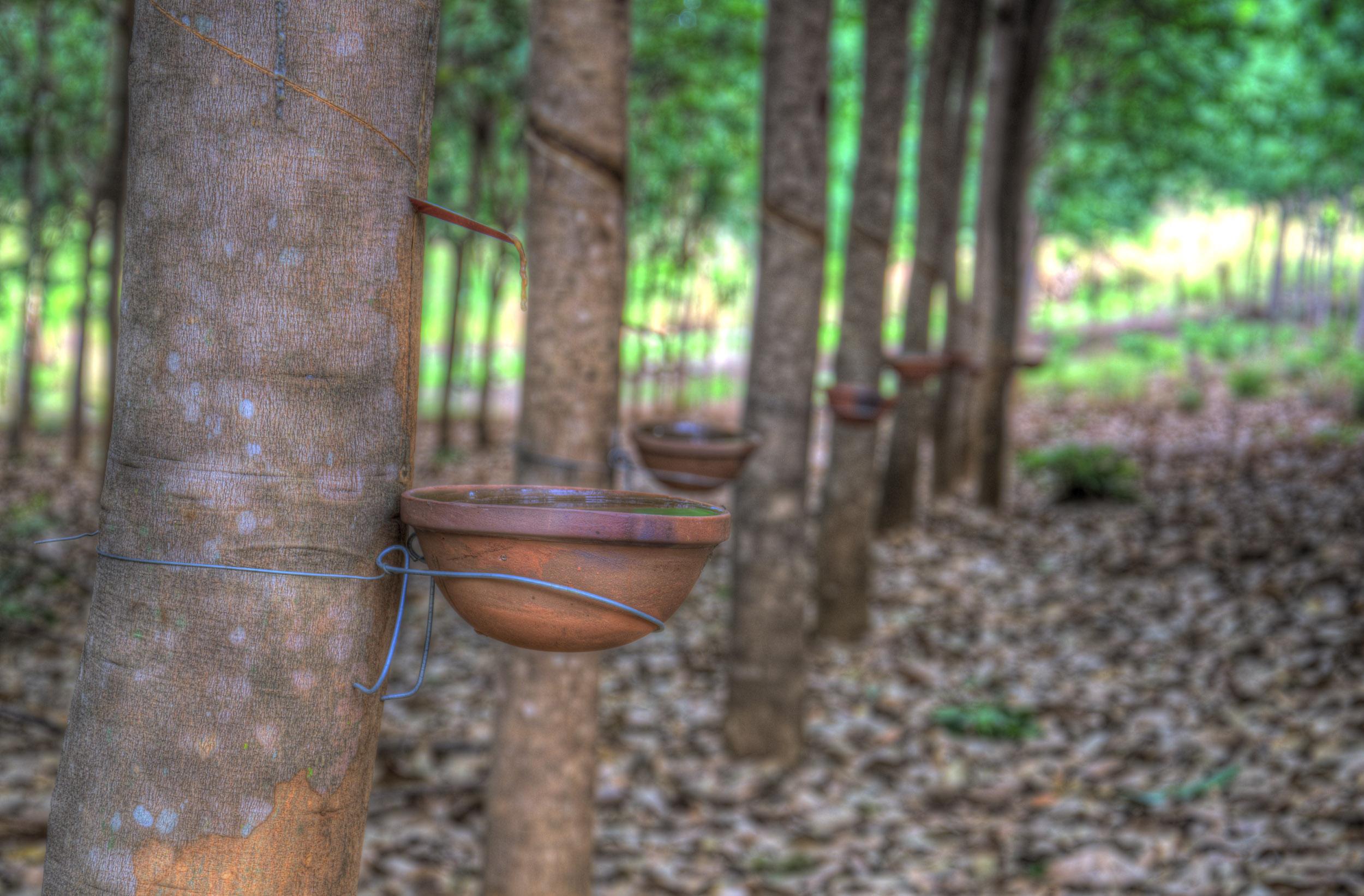 rubber sap in ratanakiri province, cambodia