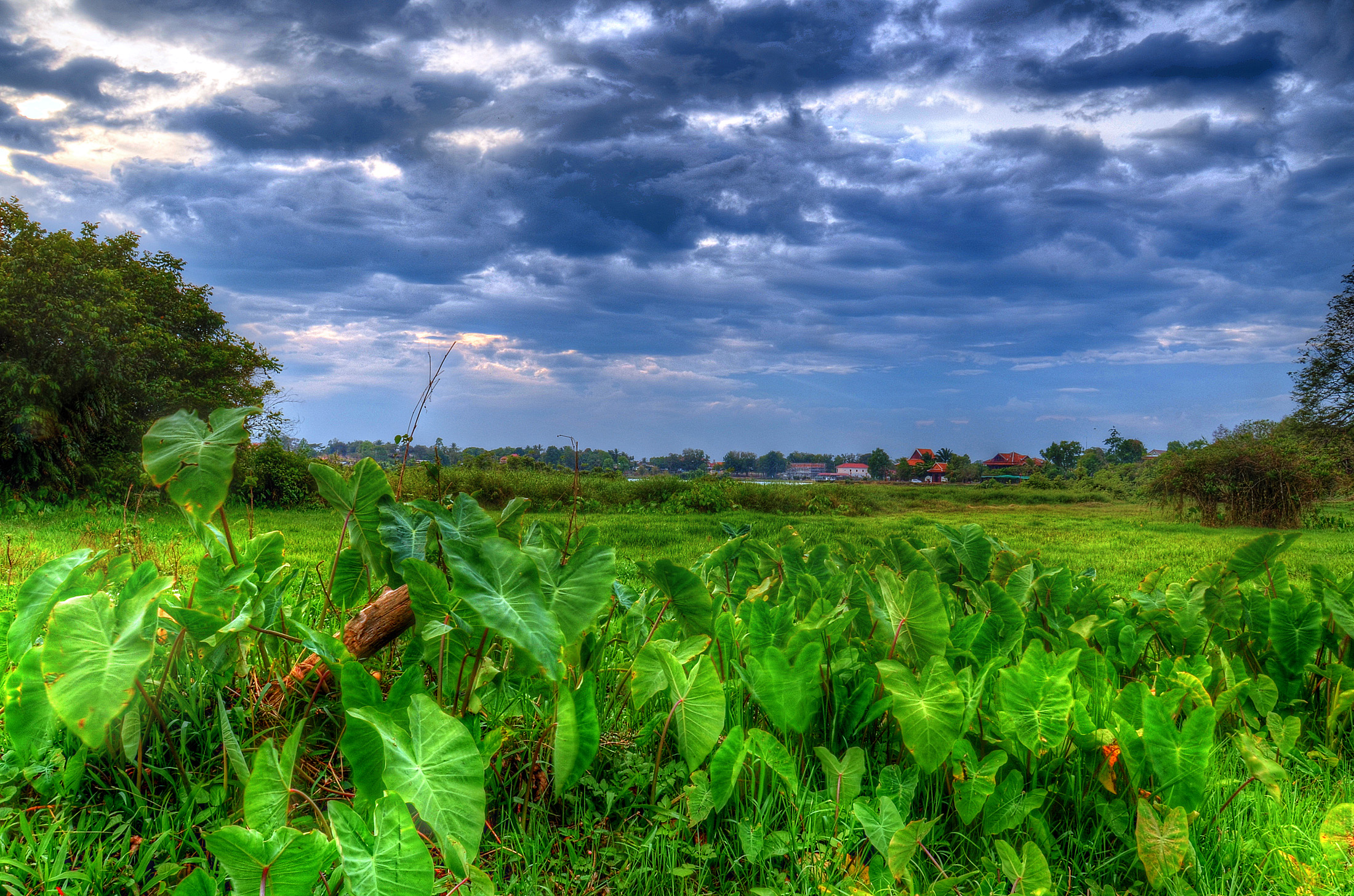 the post-stormy evening sky over  taro plants